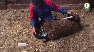 geboorte lammetje bij boer  Gerrit de Zwaan/></a> </div> <div class=