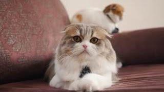 Шотландская вислоухая кошка ➠ Узнайте все о породе кошек