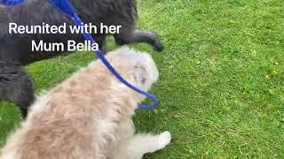 Pt.2 Irish Wolfhound Rehome