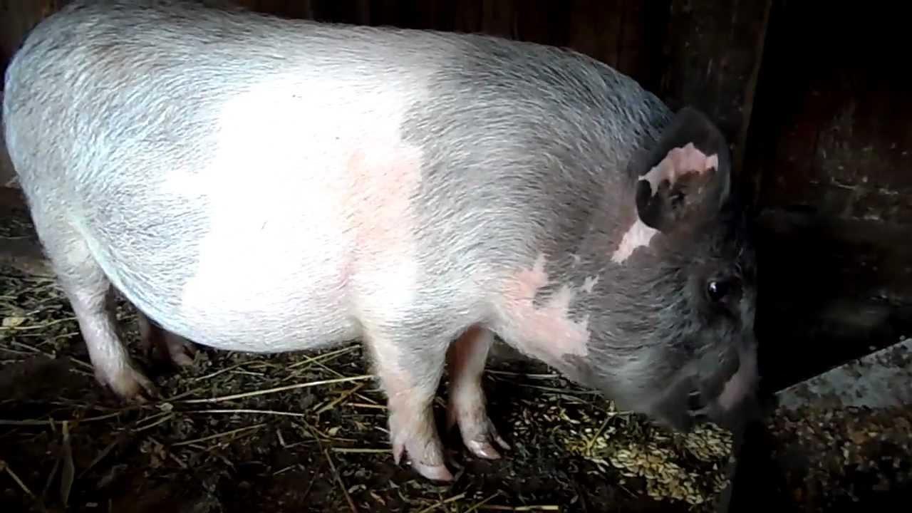 Звук свинья хрюкает скачать