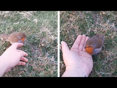 Friendly Robin Sits On NHS Worker's Hand