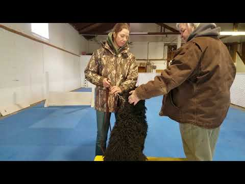 Portuguese Water Dog dog obedience training