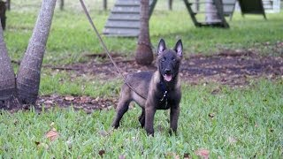 "Bite Development Training Sessions With ""moighty"" Male Belgian Malinois Puppy"