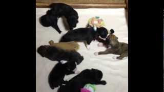 Akc Boxer Puppies (whelped 3/18/12)