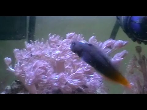 Timmy the Bicolor Blenny