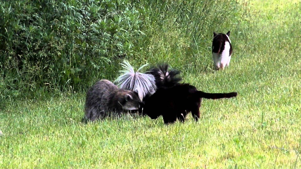 Skunks Eat Cat Food