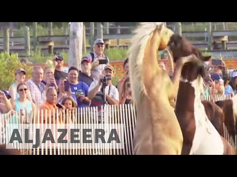 US: Tourists gather to watch annual pony swimming event in Virginia