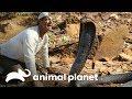 ¡De frente con la cobra que mató a Cleopatra! | Wild Frank en África | Animal Planet