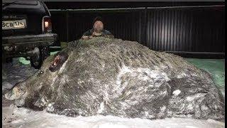 Bắt được chú heo rừng khổng lồ nặng hơn nửa tấn