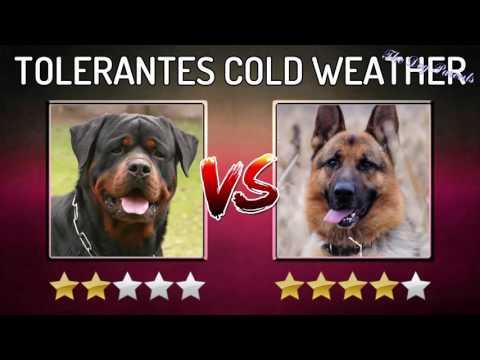 Comparing dogs – Rottweiler VS German Shepherd
