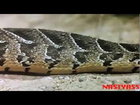 Honey Badger Narrates: The Hyper Kanagroo Mouse & Sneaky Snake