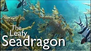 David Attenborough's Favourite Animal the Leafy Sea Dragon