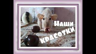 ДОМАШНИЕ ДЕКОРАТИВНЫЕ КРЫСЫ Сиамская крыса дамбо дабл рекс и крыса капюшон КРЫСЫ ВИДЕО