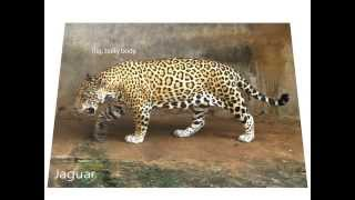 Differences between jaguars, leopards and cheetahs