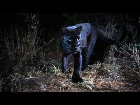 Extremely rare black leopard captured on camera in Kenya Mp3