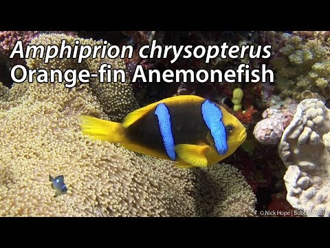 Orange-fin Anemonefish (Amphiprion Chrysopterus) Stock Footage - HDV 1080-60i