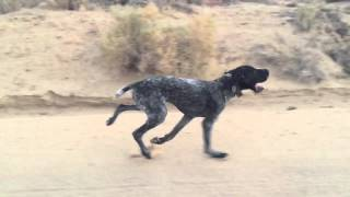 German Wirehaired Slo-mo Run