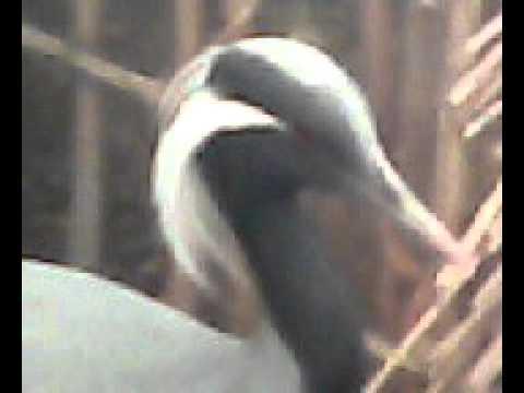 siberian cranes in karak,hamidan