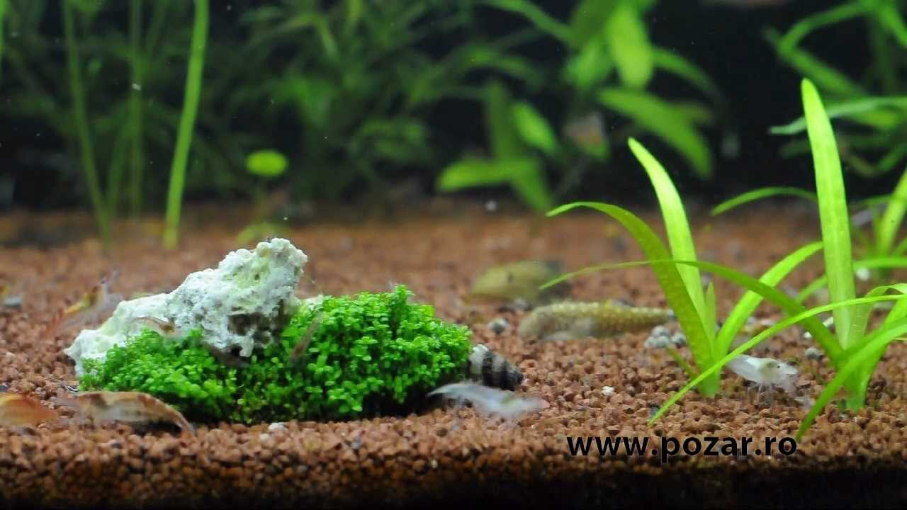 Freshwater Shrimps Aquarium Youtube