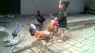 video lucu anak kecil vs ayam