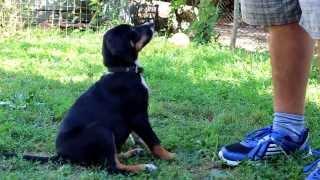 Обучение на кучето с кликер. Команди : седни и легни