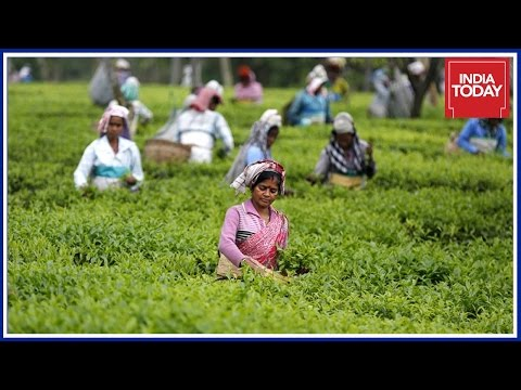 No Wages For Tea Farmers In Assam & Bengal Post Demonetization