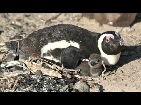African Penguins and Climate Change