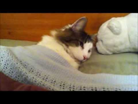 Sleepy Cat Is Tucked Into Bed!!! [FUNNY]