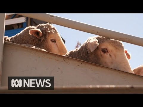 Live sheep exports resume under new animal welfare standards | ABC News