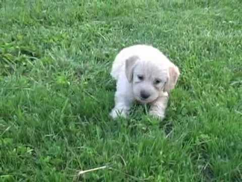 Miniature Labradoodle Puppies 6 weeks old - YouTube