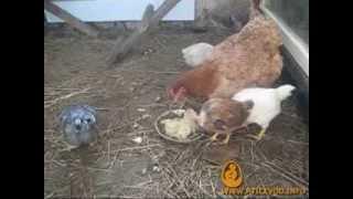Цыплята с квочкой, возраст 6 недель(Квочка с 6-недельными цыплятами. Больше информации о выращивании цыплят на сайте http://pticevod.info., 2014-02-11T20:25:42.000Z)