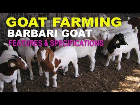 Goat farming :बारबरी बकरी और उसकी विशेषताएं | Barbari Goat Features and Specification