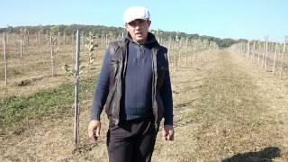 Буковинський садівник із 300 дерев молодого саду зібрав 101 ящик яблук