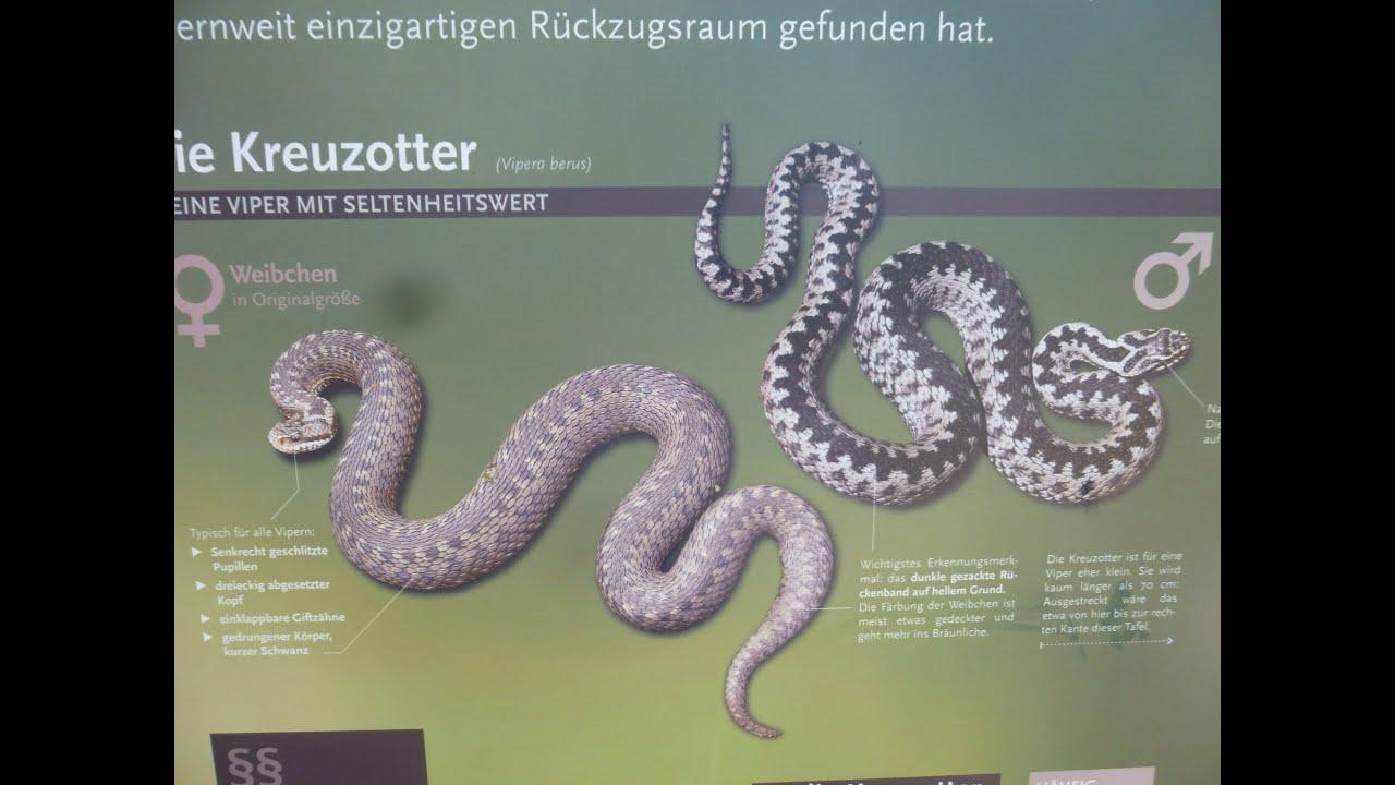 Heimische Schlangen - Die Kreuzotter - YouTube