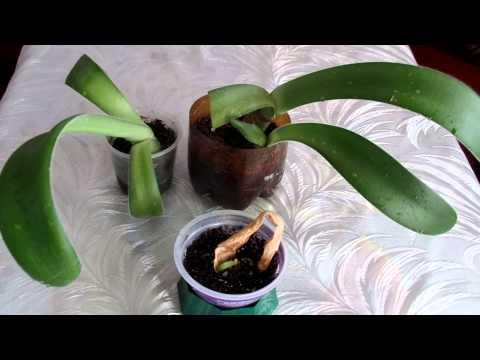 Размножение гемантуса листом