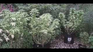 East Coast Guerrilla Grow | Grow420Guide