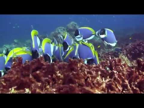 Blue Tang Surgeonfish Acanthurus Coeruleus