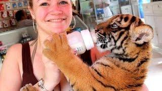 Милые Маленькие Тигры Видео Подборка 2016 [NEW](Ребенок тигра может быть такой милый. Тигрята одни из самых симпатичных животных. Посмотрите этот милый..., 2016-01-07T05:17:17.000Z)