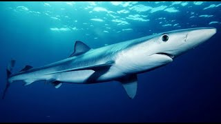 Facts: The Blue Shark