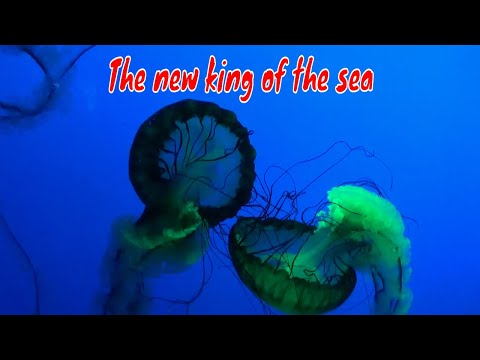 Jellyfish - The Next King of the Sea