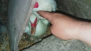 Мускусные утки на яйцах / насиживание мускусных уток / забираю куриные яйца из под уток