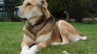 Среднеазиатская овчарка -  Central Asian Shepherd Dog