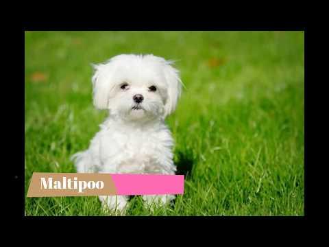 Maltipoo   Top 10 Interesting Facts