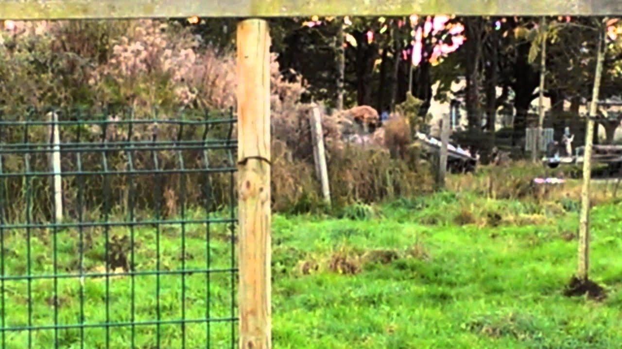 Rehausser Une Cloture Grillagée chien qui s'évade en montant sur un grillage