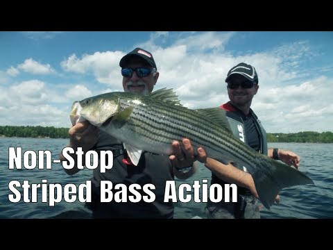 Insane Non-Stop Striped Bass Fishing | Fish'n Canada