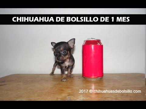 Chihuahua Macho Miel 4.5 Meses Super Pequeиз YouTube · Длительность: 35 с  · Просмотров: 235 · отправлено: 05.07.2016 · кем отправлено: Chihuahuas de Bolsillo