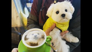 Maltese Puppy Celebrating Six Months 'Birthday'  Cute Dog Video Compilation