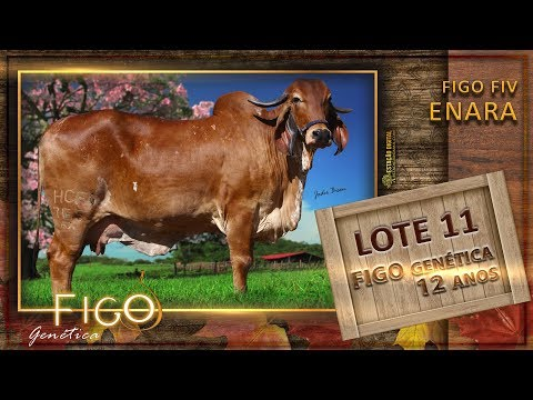 LOTE 11 - FIGO FIV ENARA - HCFG 765