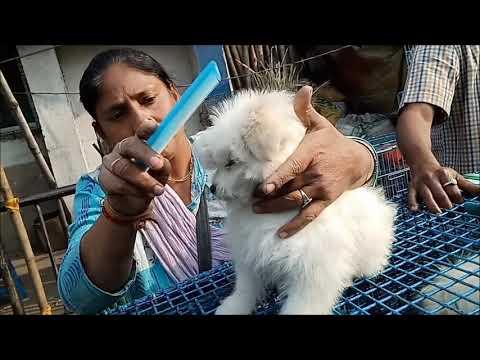 Snow White Cute Lhasa Apso Puppy At Galiff Street Kolkata