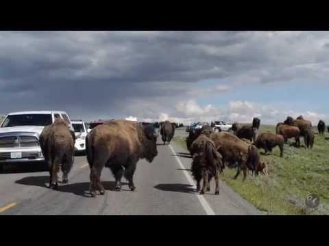 Yellowstone Bison Won't Move! Park Ranger Came to Help!
